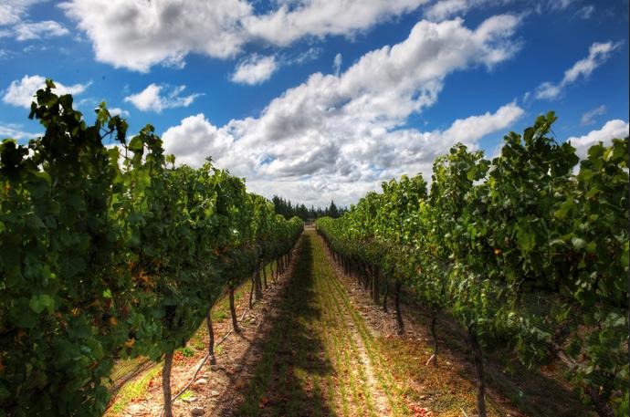 Vineyard-New-Zealand