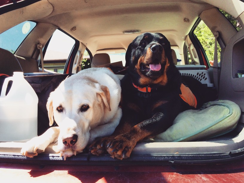 dogs in trunk of car